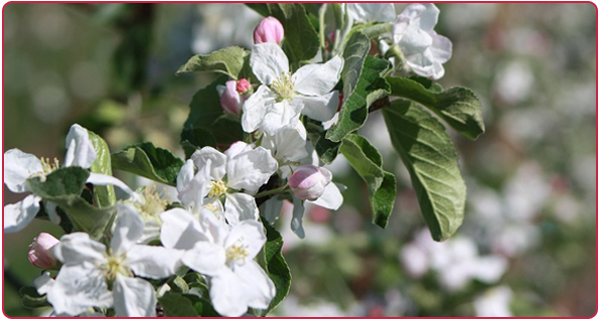 Blosom of Ambrosia apple