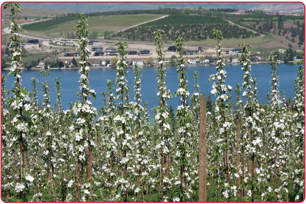 Ambrosia Apples in blossom