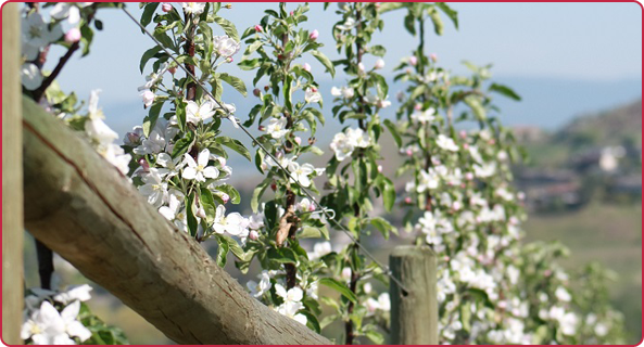 Ambrosia apples blossoming
