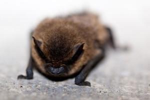 bat-animal-72136_640