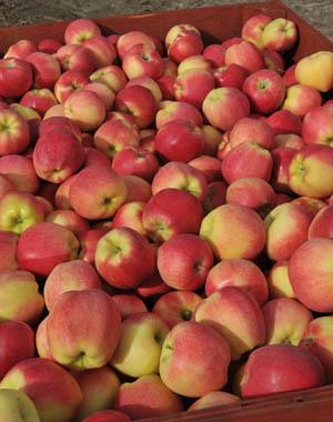 apples-nvdc_082