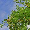 Ambrosia apples orchard