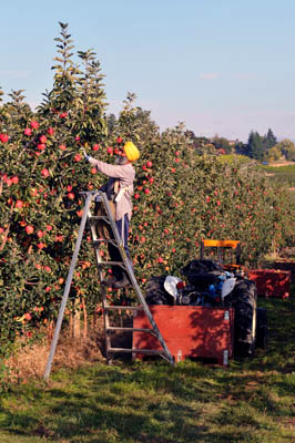 Picking Ambrosia apples - Harvesting