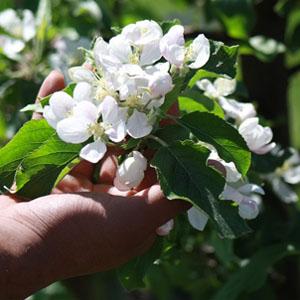ambrosia apples blosoms