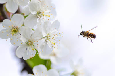 Bee and Ambrosia apple blossoms