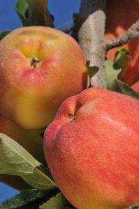 ambrosia apple - healthy