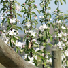 Ambrosia apple blossoms