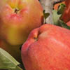 Ambrosia apples and health