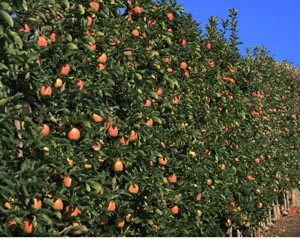 Ambrosia apples orchard