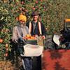 Ambrosia apples harvest