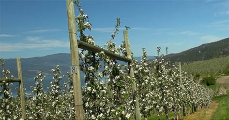 Ambrosia apple orchard