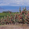 Ambrosia apples farmers