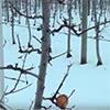 ambrosia apple orchard