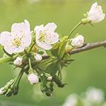 Ambrosia apple blossoms