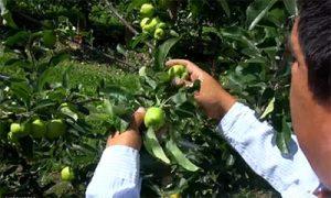 ambrosia apple thining process