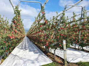 Ambrosia apples New Zealand