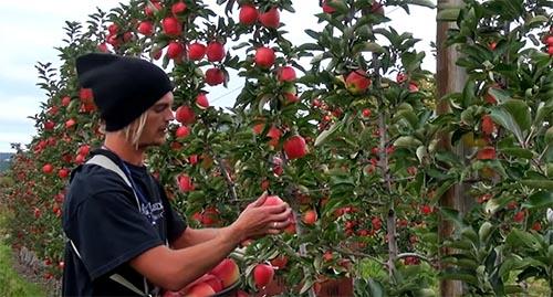 Ambrosia apple harvest